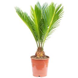 Japanischer Palmfarn Cycas revoluta