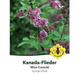 Kanada-Flieder, Syringa prestoniae »Miss Canada«, Blütenfarbe rosa/pink