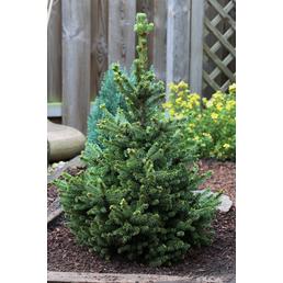 Kegel-Fichte abies Picea »Will's Zwerg«