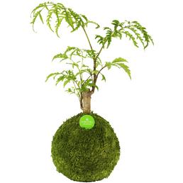 KIBONU Kibonu Fiederaralie Polyscias fruticosa