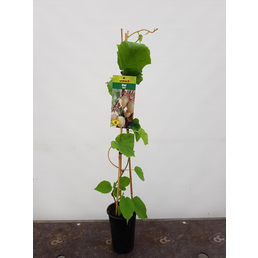GARTENKRONE Kiwi Actinidia chinensis »Jenny«