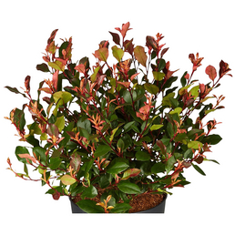 GARTENKRONE Kleine Glanzmispel Photinia fraseri »Little Red Robin«