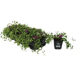 Kleines Immergrün, minor Vinca »Atropurpurea«, Blüten: violett, Ø Topf: 9 cm cm
