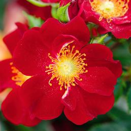 ROSEN TANTAU Kleinstrauchrose Rosa hybride »Bienenweide«