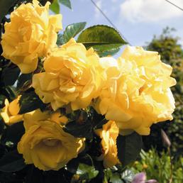 ROSEN TANTAU Kletterrose »Dukat«, Blüte: gelb