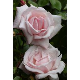Kletterrose 'New Dawn' -R- Rosa  »New Dawn«