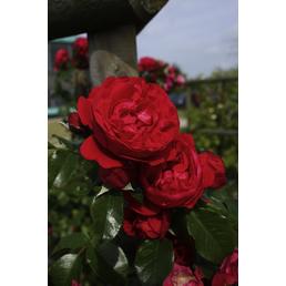 KORDES ROSEN Kletterrose Rosa  »Florentina®«