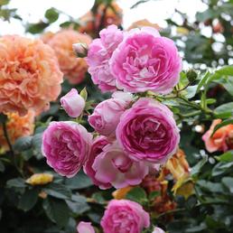 KORDES ROSEN Kletterrose Rosa  »Jasmina®«