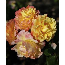 KORDES ROSEN Kletterrose Rosa  »Moonlight®«