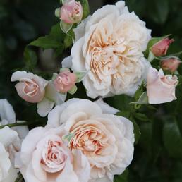 KORDES ROSEN Kletterrose Rosa »Rose de Tolbiac®«