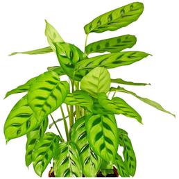 GARTENKRONE Korbmarante Calathea hybrid »Sorten-Mix«