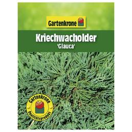 GARTENKRONE Kriechwacholder horizontalis Juniperus »Glauca«