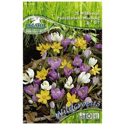 PEGASUS Krokuss chrysanthus Crocus