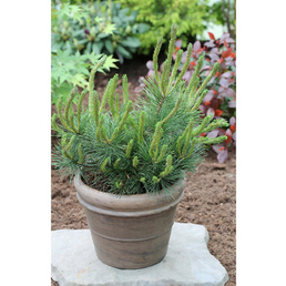 Krummholzkiefer mugo Pinus »Mughus«