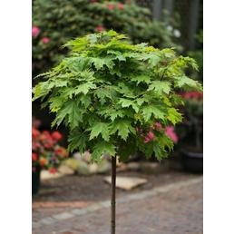 Kugelahorn, Acer platanoides »Globosum«