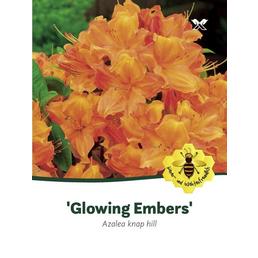 Laubabwerfende Azalee, Azalea luteum »Glowing Embers«, gelborange