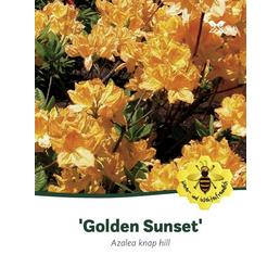 Laubabwerfende Azalee, Azalea luteum »Golden Sunset«, hellgelb, Höhe: 40 - 50 cm