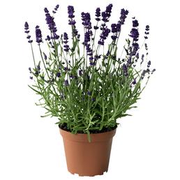 Lavendel, angustifolia, Blüte: blauviolett, winterhart