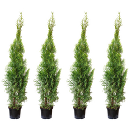 Lebensbaum 4 Stück, Thuja occidentalis »Smaragd«, Lieferhöhe: 100 - 120 cm