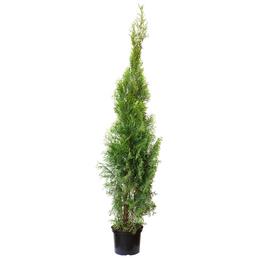 Lebensbaum, Thuja occidentalis »Smaragd«, Lieferhöhe: 100 - 120 cm