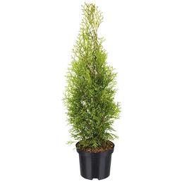 Lebensbaum Thuja Occidentalis smaragd, Lieferhöhe 100 cm - 80 cm