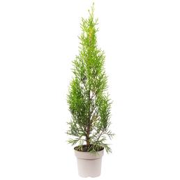 Lebensbaum Thuja Occidentalis smaragd, Lieferhöhe 30 cm - 20 cm
