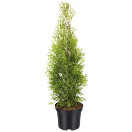 Lebensbaum, Thuja Occidentalis smaragd, Lieferhöhe: 40 - 60 cm