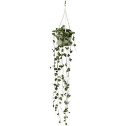 Leuchterblume, Ceropegia woodii
