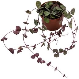 Leuchterblume Ceropegia woodii »ssp. Woodii«