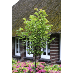 Magnolie, Magnolia sprengeri »Galaxy«, Blütenfarbe rosarot