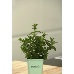 GREENBAR Minze 3er Set, Mentha Spicata, Blütenfarbe: weiß