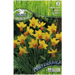 PEGASUS Narzisse Narcissus cylamineus Narcissus cylamineus »Narcissus cylamineus«