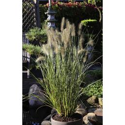 Niedriges Lampenputzergras alopecuroides Pennisetum »Hameln«