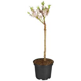 GARTENKRONE Obstbaum »Zwergpfirsich«, Creme
