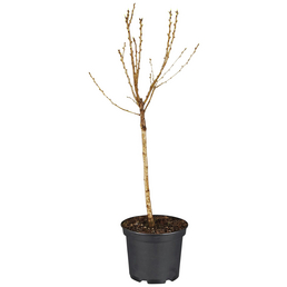 GARTENKRONE Obstbaum »Zwergsauerkirsche«, Creme