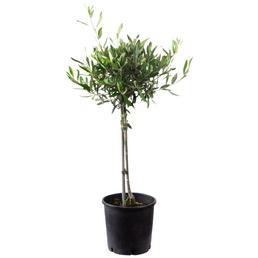 Olivenbaum Europaea Olea