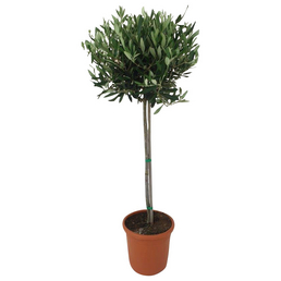 GARTENKRONE Olivenbaum, Olive, Olea