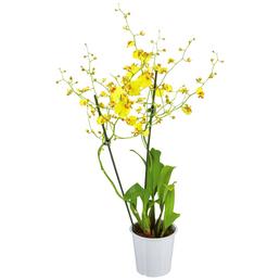 GARTENKRONE Oncidie, Oncidium hybrid, Blüte: gelb, im Topf