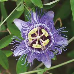 GARTENKRONE Passionsblume, Passiflora caerulea »Purple Haze«, Blüten: rosa/pink
