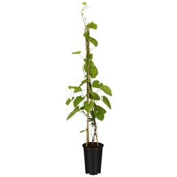 GARTENKRONE Pfeifenwinde, Aristolochia macrophylla, creme, winterhart