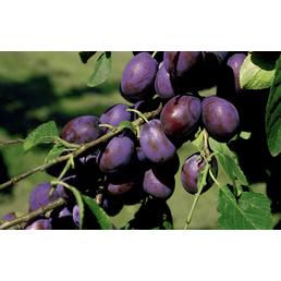 GARTENKRONE Pflaume, Prunus domestica »The Czar«, Früchte: süß-säuerlich, zum Verzehr geeignet
