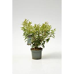 Portugiesischer Kirschlorbeer, Prunus lusitanica »Angustifolia«, Blütenfarbe weiß