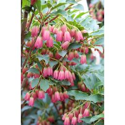 Prachtglocke, Enkianthus camanulatus, Blütenfarbe weiß/rosa
