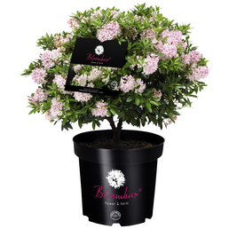 Bloombux® Rhododendron 'Bloombux', , rosa/pink, Höhe: 40 - 45 cm