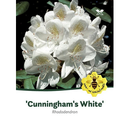Rhododendron »Cunningham's White«, weiß, Höhe: 40 - 50 cm