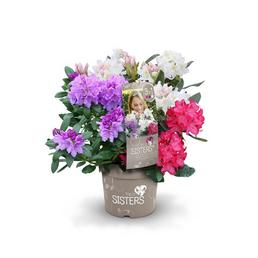 Rhododendron hybride »Three Sisters ®«, weiß/lila/rosa, Höhe: 30 - 40 cm