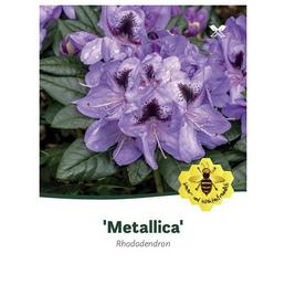 Rhododendron »Metallica«, lila, Höhe: 30 - 40 cm
