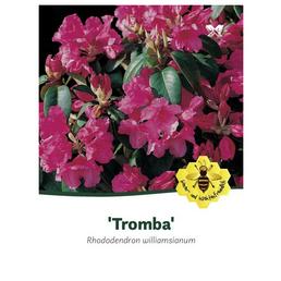 Rhododendron williamsianum »Tromba«, rot, Höhe: 30 - 40 cm
