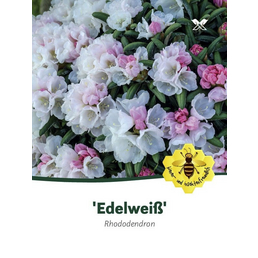 Rhododendron yakushimanum »Edelweiß«, weiß, Höhe: 30 - 40 cm
