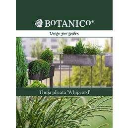 BOTANICO Riesenlebensbaum plicata Thuja »Whipcord«